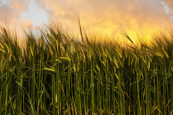 Tall Wheat Print by Svetlana Sewell