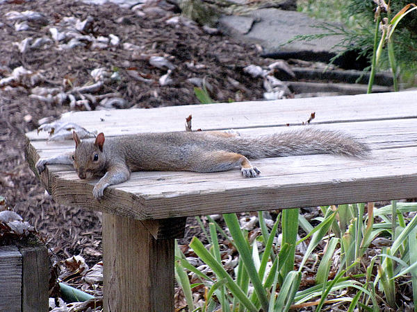 Phil Welsher - Tanning Squirrel