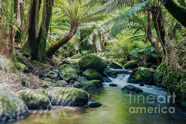 Tasmanian Rainforest Print by Matteo Colombo