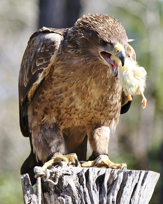 Tawny Eagle With His Prey Print by Paulette Thomas