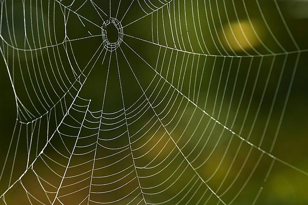 Tender Web Print by Christina Rollo