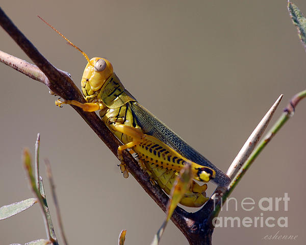 Chanda Henne - Texas Grasshopper