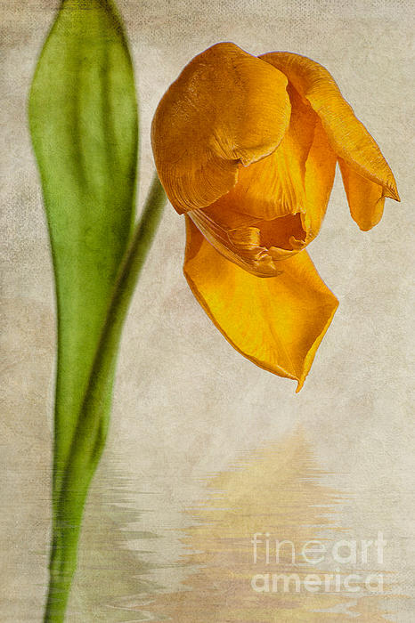 Textured Tulip Print by John Edwards