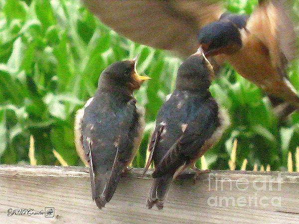 The Adult Barn Swallow Arrives With Lunch For One Print by J McCombie