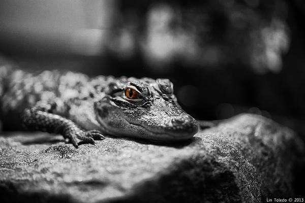 The Alligator's Eying You Print by Linda Leeming