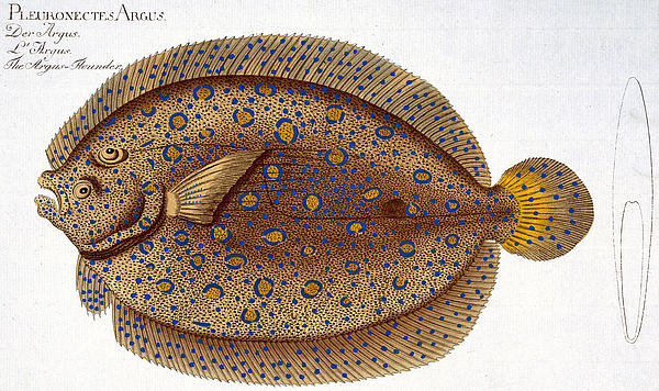 The Argus Flounder Print by Andreas Ludwig Kruger