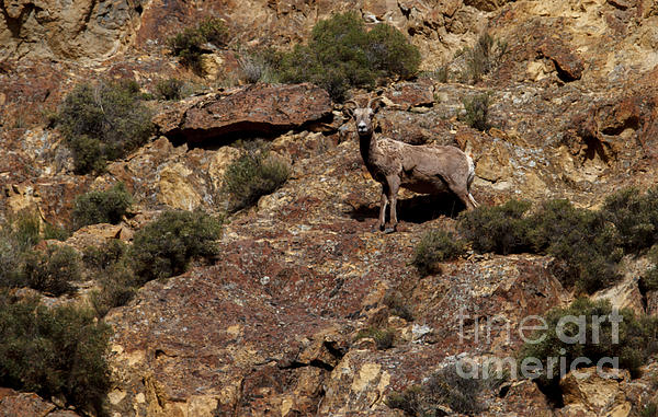 The Bighorn Uwe Print by Robert Bales