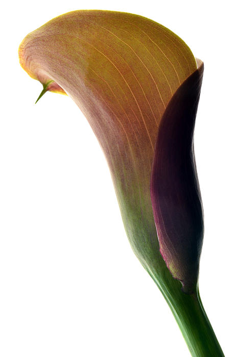 The Colours Of Calla. Print by Terence Davis