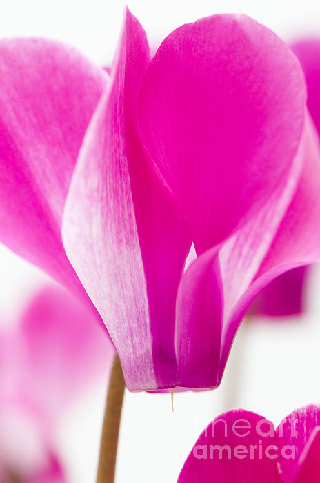 Anne Gilbert - The Cyclamen That Fought Back
