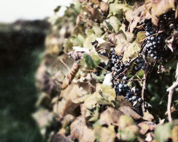 The Grapevines Print by Lisa Russo