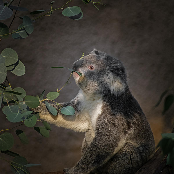 The Koala Print by Ernie Echols