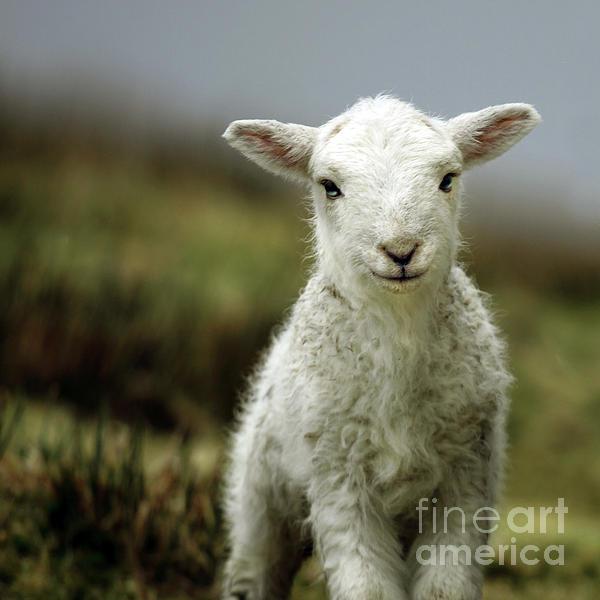 The Lamb Print by Angel  Tarantella