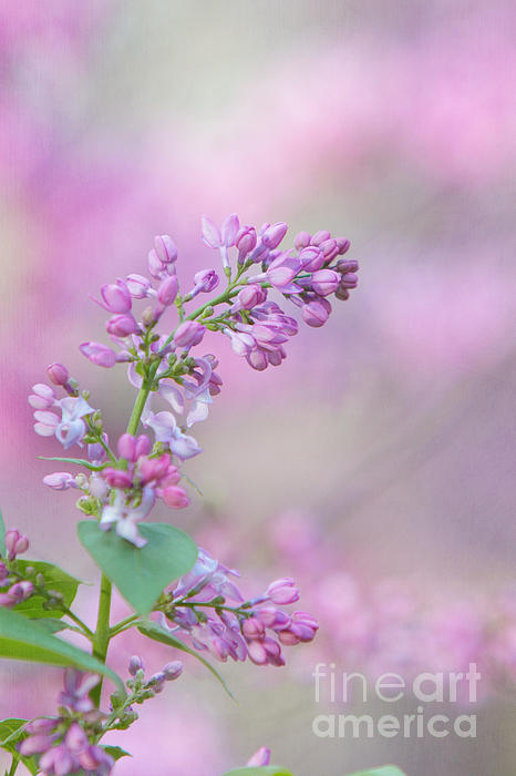 The Lilac Print by Kay Pickens