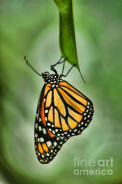 The Monarch Print by Peggy J Hughes