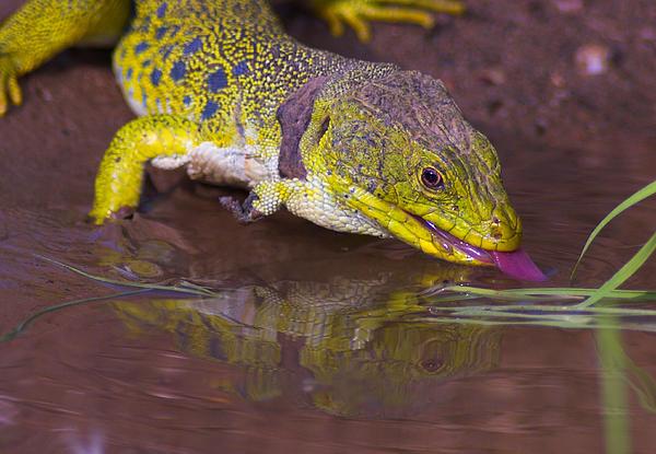 Guido Montanes Castillo - The ocellated lizard