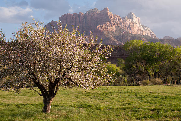 The Old Apple Tree In My Backyard In Rockville Utah Print by Robert Ford