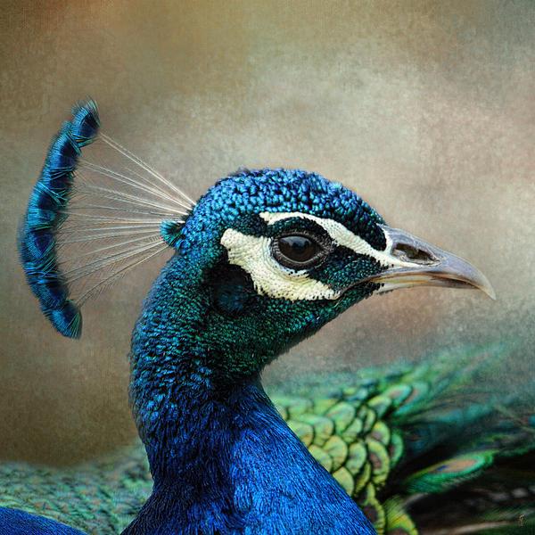 Jai Johnson - The Peacock