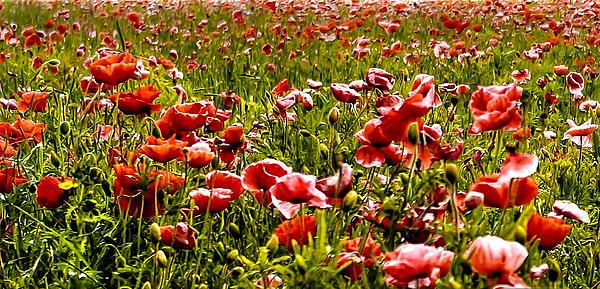The Poppy Field Print by Trevor Kersley