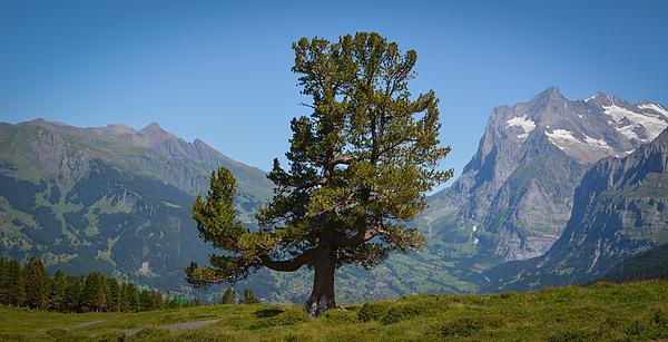 The Proud Tree Print by Stefan Hoareau