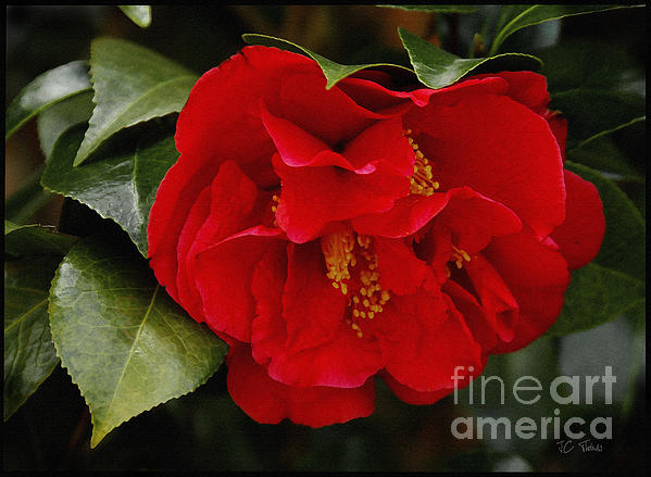 The Red Camellia  Print by James C Thomas