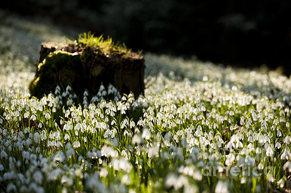 The Stump And The Snowdrops Print by Anne Gilbert