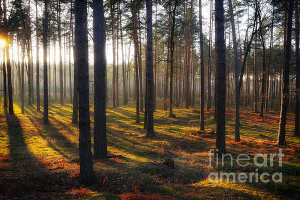 The Sunny Forest Print by Igor Baranov