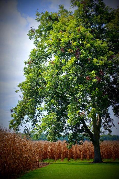 S Bordelon - The tree next to the corn field