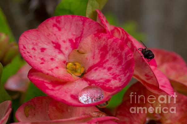 The  Water Drop And The Fly Print by Hank Taylor