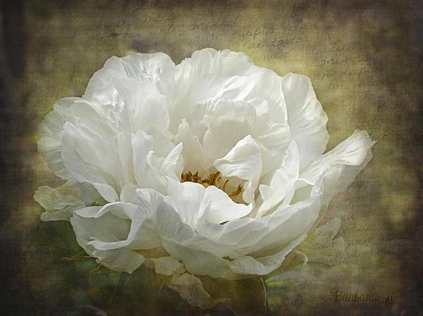 The White Peony Print by Barbara Orenya