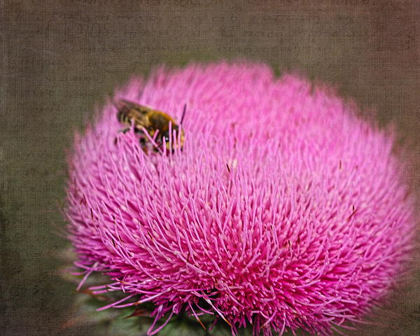 Terry Fleckney - Thistle Flower with Bee
