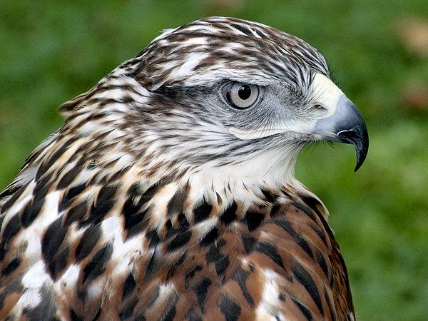 Bob Slitzan - The Threat of a Predator Hawk