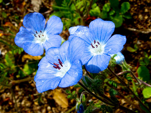 Three Baby Blue Eyes In Park Sierra-ca Print by Ruth Hager