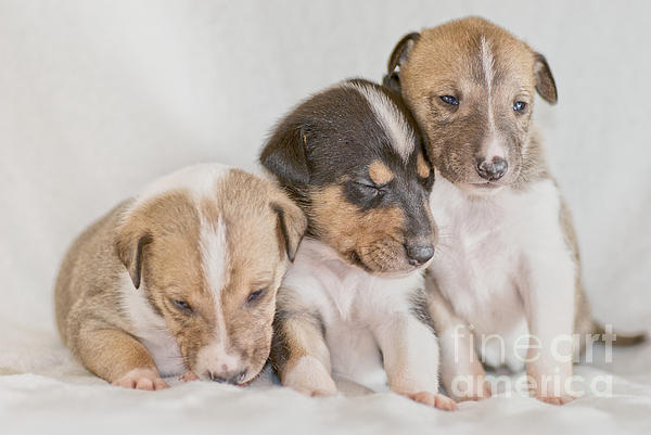 Three Collie Puppies Print by Martin Capek