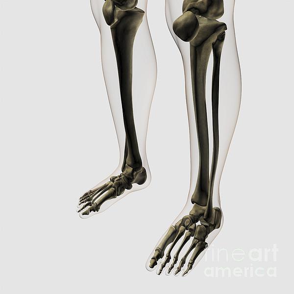 Three Dimensional View Of Human Leg Print by Stocktrek Images