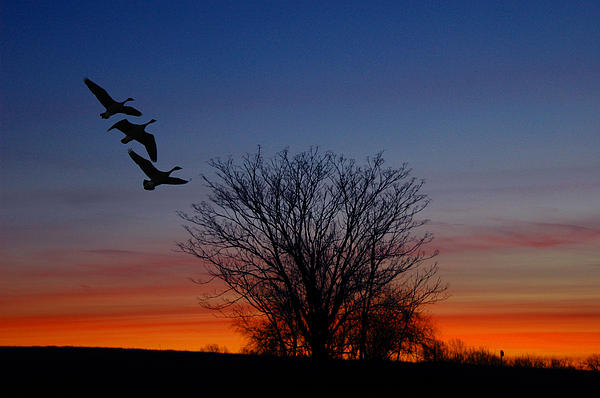Three Geese At Sunset Print by Raymond Salani III
