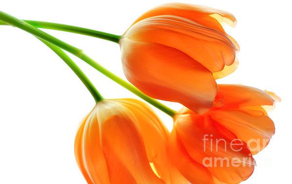 Charline Xia - Three Orange Tulip Flowers 3