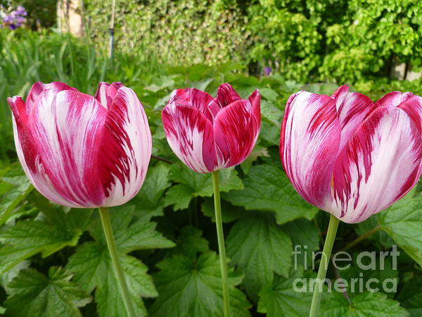 Three Pink Rembrandt Tulips Print by Lingfai Leung