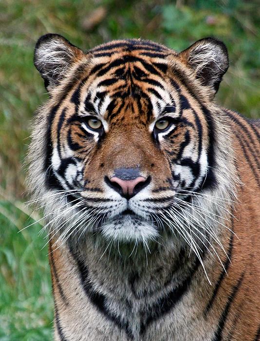 Tiger Print by Athena Mckinzie