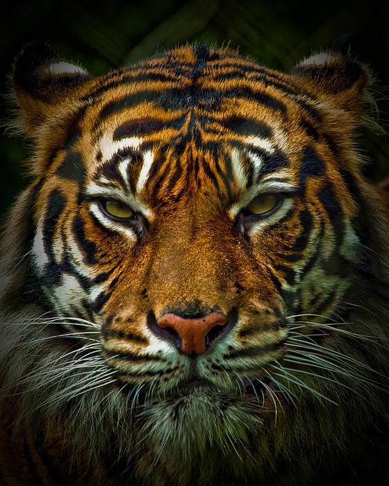Elaine Snyder - Tiger Eyes