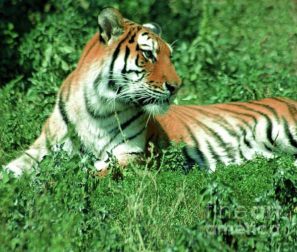 Tiger Print by Kathleen Struckle
