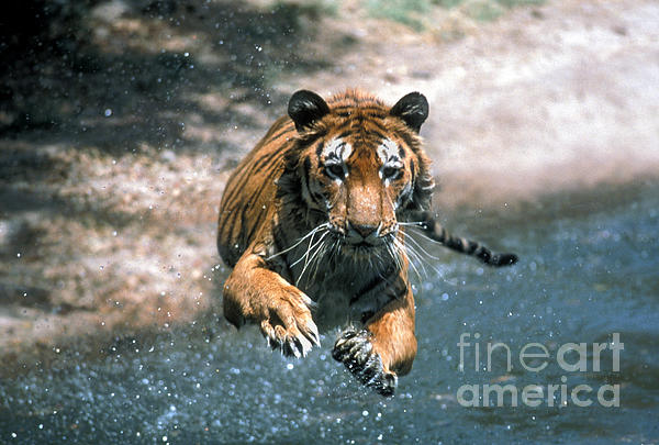 Tiger Leaping Print by Mark Newman