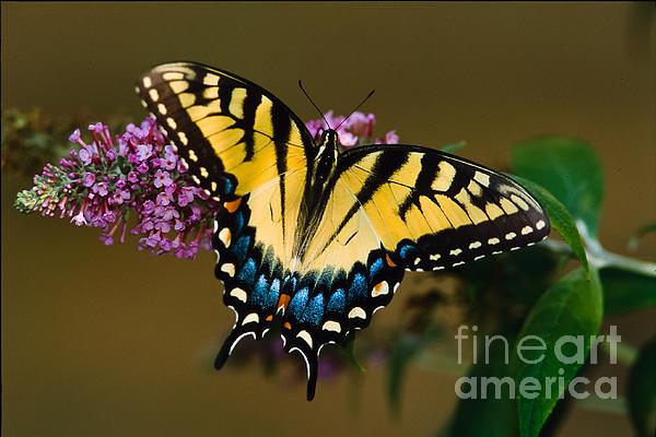 Tiger Swallowtail Butterfly Print by Joe Elliott