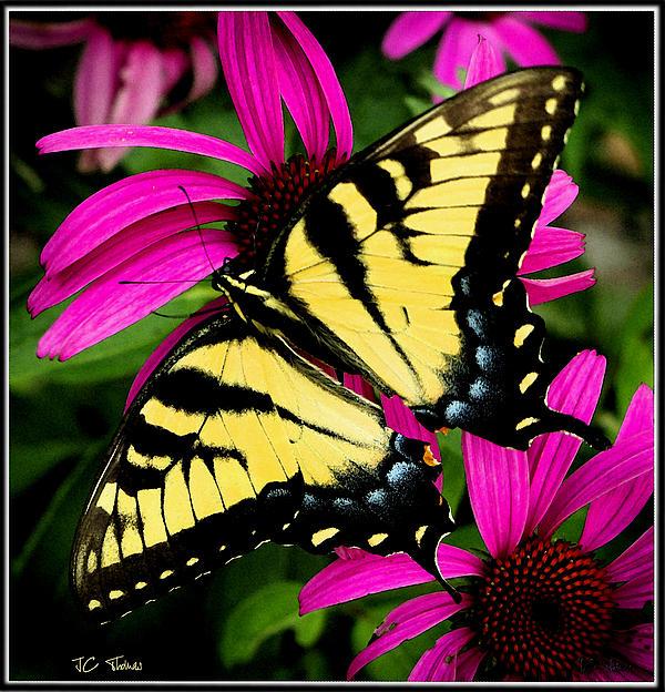James C Thomas - Tiger Swallowtail