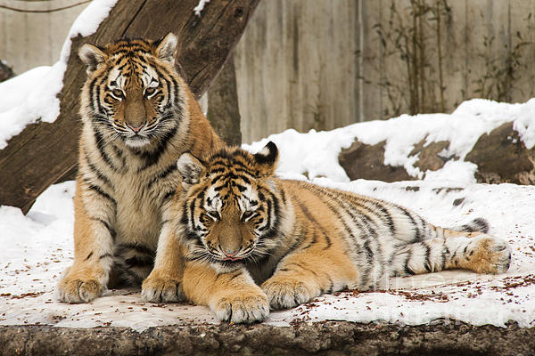 Inge Riis McDonald - Tigers in the snow
