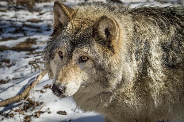 Timber Wolf Print by Tracy Munson