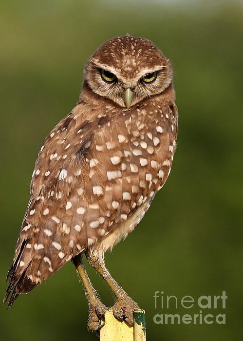 Tiny Burrowing Owl Print by Sabrina L Ryan