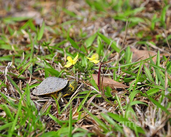 Tiny Turtle Print by Al Powell Photography USA