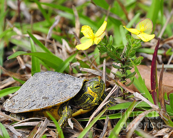 Tiny Turtle Close Up Print by Al Powell Photography USA