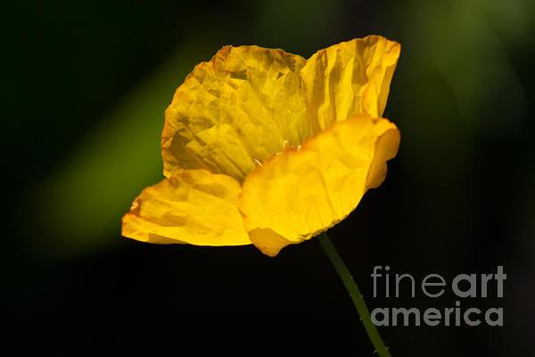 Tissue Paper Petals Print by Jennifer Apffel