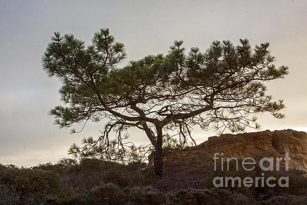 Torrey Pine Tree Print by Darleen Stry